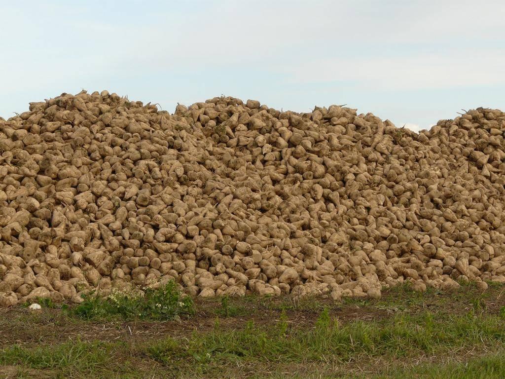 Keine Pflanze in Europa hat so einen hohen Zuckergehalt wie die Zuckerrübe